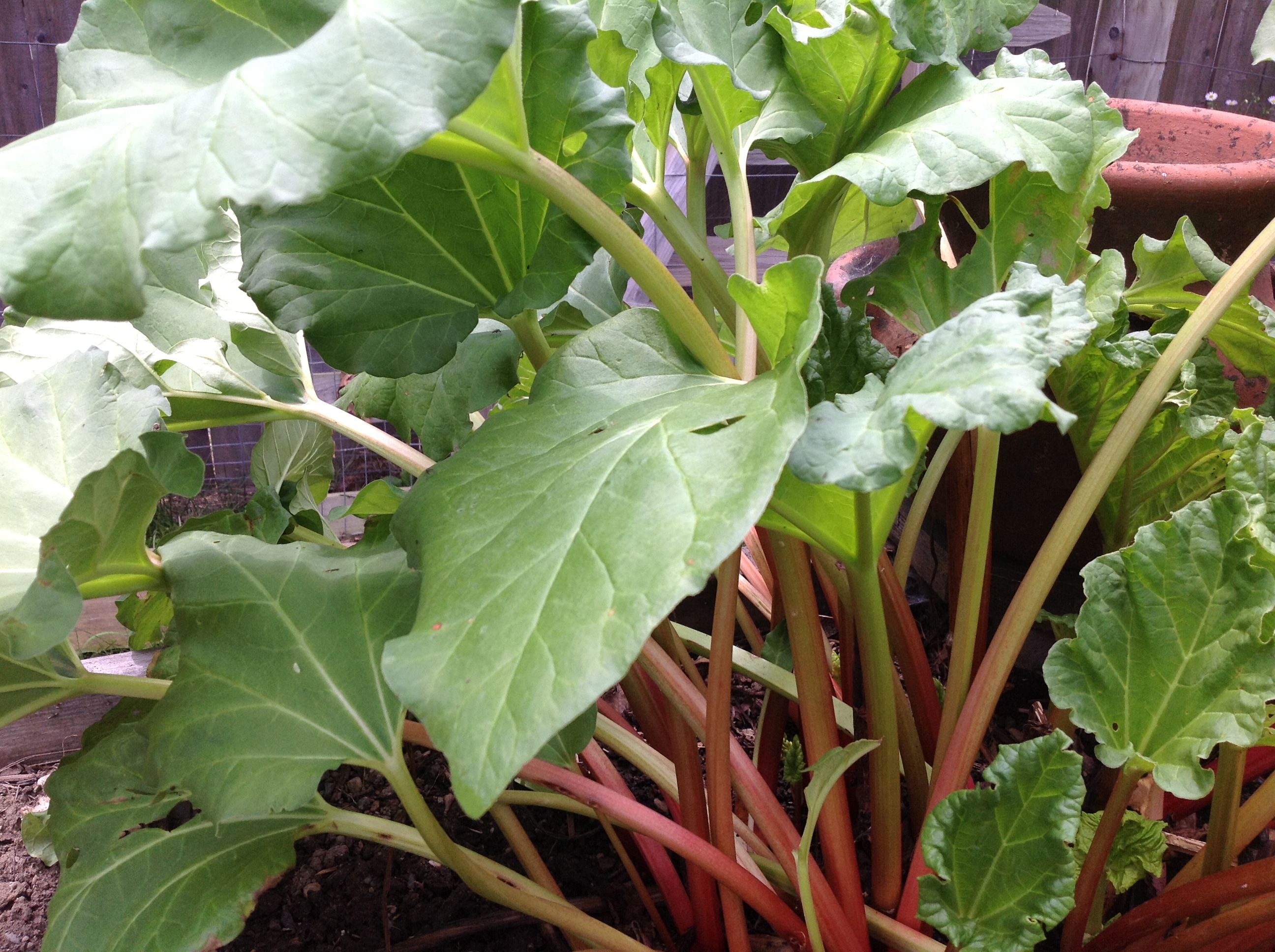 How to plant rhubarb in the fall - My 25 Year Old Rhubarb Plant Still Going Strong
